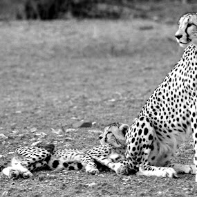 Leopard with Cub by Arun Prasanna - Animals Lions, Tigers & Big Cats ( #cheetah #cub #africa #watchful #security )