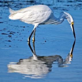Snowy egret reflections by Sandy Scott - Animals Birds ( shore birds, water birds, birds, snowy egret, wading birds, egret,  )