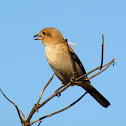 Northern Shrike (Juvenile)
