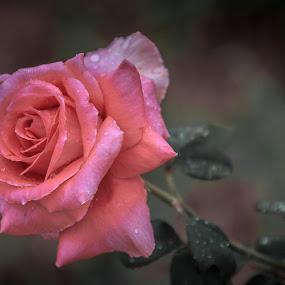simple rose by José M G Pereira - Flowers Single Flower ( rose, macro, pink, flower, closeup )