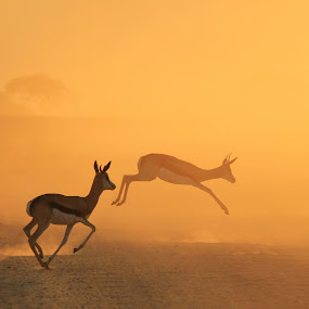Springbok Symmetry of Sunset Gold - African Wildlife by Dries Alberts - Animals Other Mammals ( freedom, silhouette, yellow, striking, free, inspiration, iconic, wonder, action, lovely, motion, black, orange, wild, majestic, superb, symbolic, dusk, mammal, jump, magnificent, dust, symmetry, golden, captivate, unique, horns, colorful, splendor, screensaver, quick, wildlife, animal background, run, cute, super, gorgeous, gold, wildlife background, inspire, africa, mesmerize, classic, animal, speed, beautiful, fantastic, nature background, color, sunset, background,  )