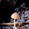 Gilled Mushroom