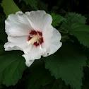 Hibiscus/ Rose of Sharon
