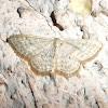 Mullein Wave Moth