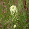 Meadow Death Camas