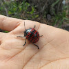 Coleoptera red and black