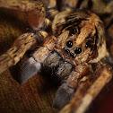 Field Wolf Spider