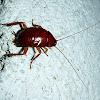 Humpbacked Cockroach