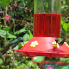 Magnificent Hummingbird (Left)