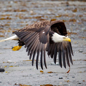 Flying by Ava Bethlenfalvy-Pitts - Animals Birds ( bird, eagle, alaska, , fly, flight )