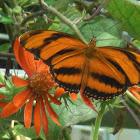 Orange tiger