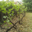 European Grape