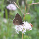 Ringlet butterfly & red soldier beetle