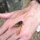 17 year red-eye cicada