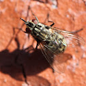 Grey-striped Flesh Fly