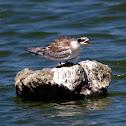 Forster's Tern (Juvenile)
