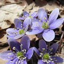 Roundlobe Hepatica