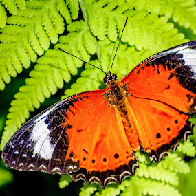 Orange Lacewing by Angelica Glen - Animals Insects & Spiders ( orange, butterfly, white, leaf, black,  )
