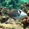 Lei Triggerfish