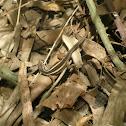 Lagarto verde o llorón (juvenile)