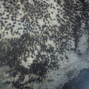 bats by Raj Tandukar - Animals Birds