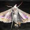 Melonworm Moth