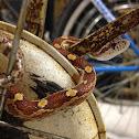 Eastern Corn Snake (Red Rat Snake)