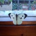 Blanca de la col / Cabbage butterfly
