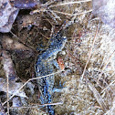 Blue-spotted Salamander