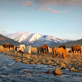 Horses in the wild by Kristján Karlsson - Animals Horses ( mountains, iceland, horses, snow, natur, scenery, spring )