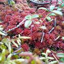 Sphagnum spp.