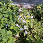 indian floss plant..