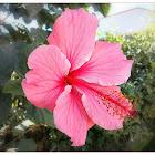 Rose Hibiscus.