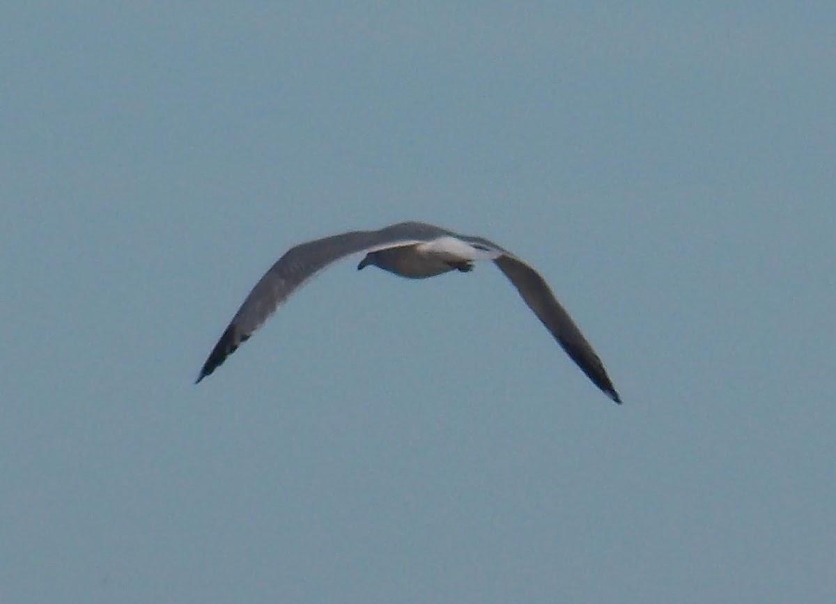 Herring Gull (nonbreeding)