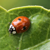 Twospotted Ladybird