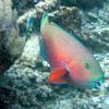 Parrot fish (specie ?)