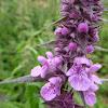 Marsh Woundwort