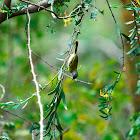 Bleating Warbler - Grey-backed Camaroptera
