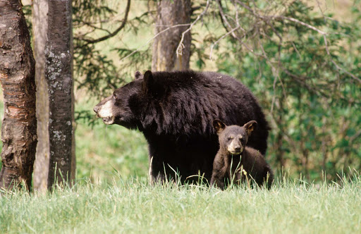 black-bears-Quebec - Hiking tours in the Saguenay-Lac-Saint-Jean region of Quebec may include wildlife sightings such as a black bear and cub.