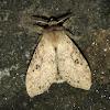 Lymentridae, Erebidae