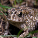 African Common Toad