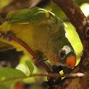 king parakeet