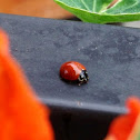 Unspotted Ladybird Beetle