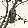 Gray Hawk (immature)