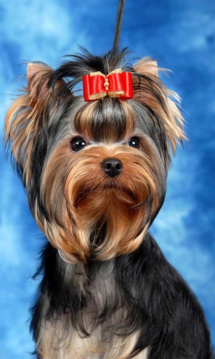 Yorkshire Terrier tr