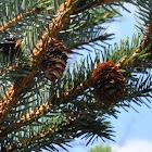 Howell's Dwarf Alcock's Spruce