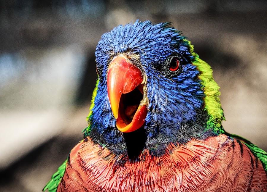 Lori 1 by Lou Plummer - Animals Birds