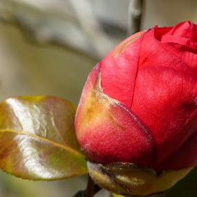 Camellia blossom by Francesco Altamura - Flowers Tree Blossoms ( red, camellia, single flower, nature close up, garden, blossom, flower,  )