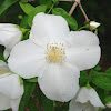 Scentless Mock Orange