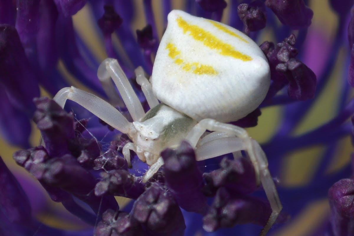 Thomisus onustus Crab Spider
